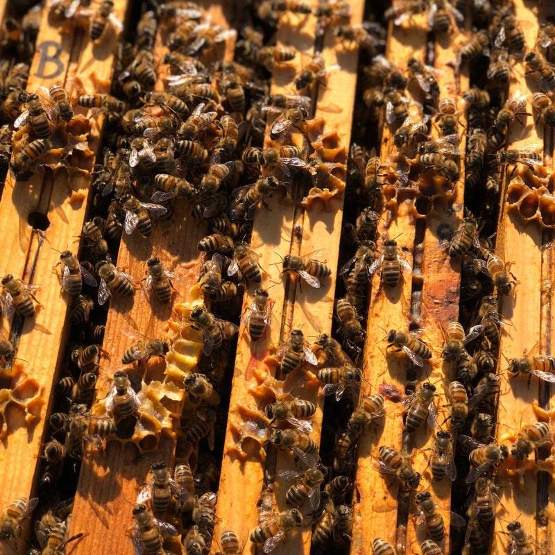 le api lavorano dentro le arnie